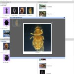 Key to Families of Adult Australian Aquatic Coleoptera (Beetles) Lucid key feature image gallery example