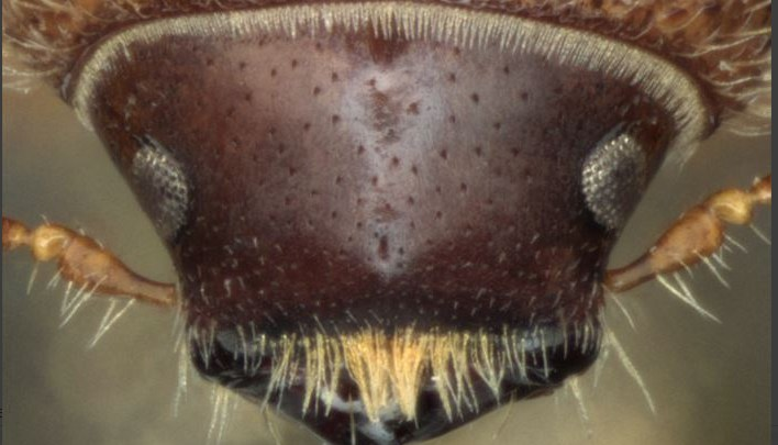 Key to the world species of Ips (Coleoptera: Curculionidae: Scolytinae) Lucid key feature image gallery example
