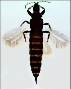 Thrips of the British Isles Lucid key taxon image gallery example