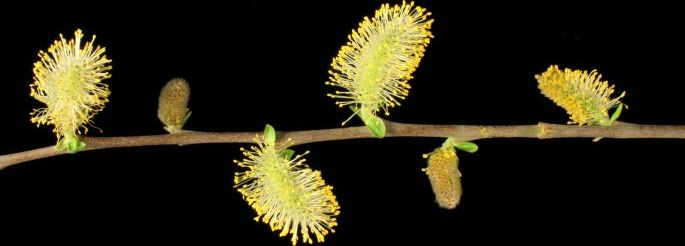 Key to willow species and hybrids present in New Zealand banner
