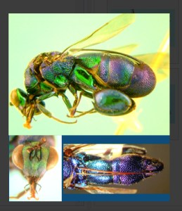 key to the world species groups of Leucospis (Hymenoptera: Leucospidae) Lucid key feature image gallery example