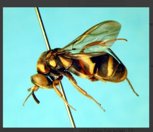 key to the world species groups of Leucospis (Hymenoptera: Leucospidae) Lucid key taxon image gallery example