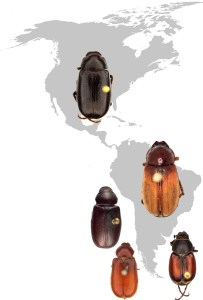 Interactive key to New World Diplotaxini genera and to Brazilian Liogenys Guérin-Méneville species beetle map
