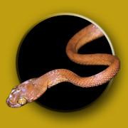 Australian Snake ID icon