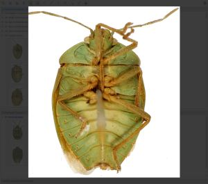 Chinavia Orian (Green Stink Bugs) Image gallery example