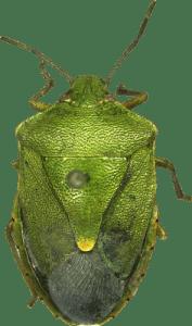 Chinavia Orian - Green Stink bugs