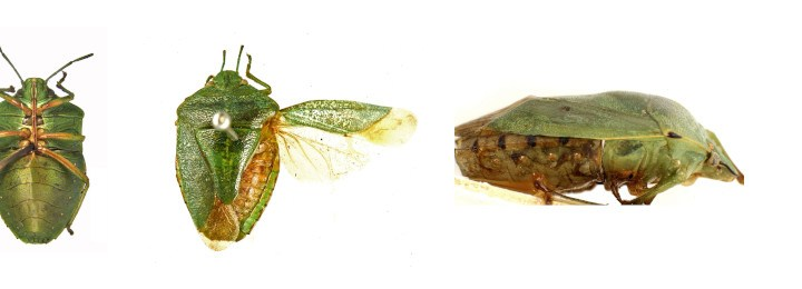Chinavia Orian - Green Stink bugs banner
