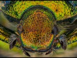 An Early Screening Tool for Exotic Scarab Pests to Australia