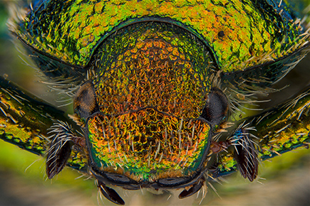 Scarab Pests front view