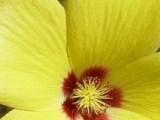 Key to the Malvaceae of Western Australia banner