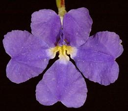 Key to Goodeniaceae of Western Australia