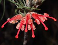 Key to Proteaceae of Western Australia