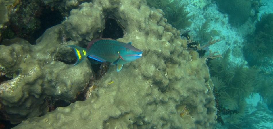 reef snorkel parrotfish coral