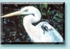 Wurdemann's Heron, a variation of a Great Blue Heron