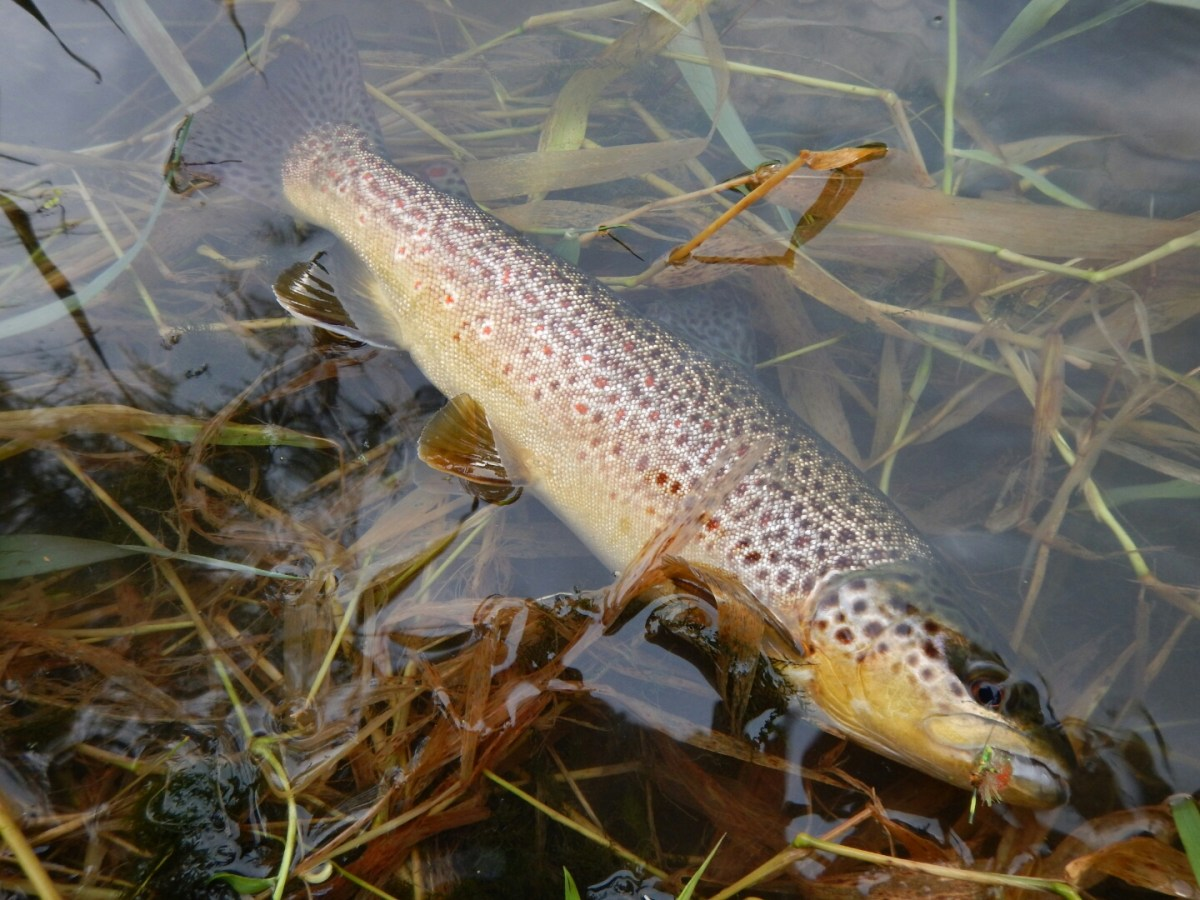 Fly Fishing Terrestrials in Pennsylvania, mid-summer fishing report.