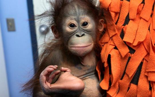 {PRESS RELEASE} ~ ZOO ATLANTA WELCOMES INFANT BORNEAN ORANGUTAN