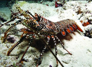 Animal on the snow - Spiny lobster