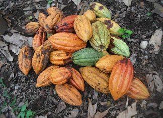 A pile of fruit - Cocoa bean