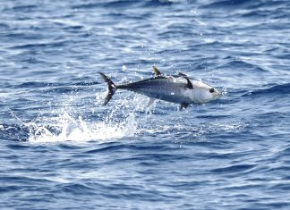 #Fish: No fish fights like a tuna - A bird flying over a body of water - Southern bluefin tuna