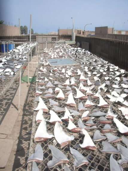 In the U.S., licensed fishermen must transport the whole shark to land before harvesting the meat, including fins. OCEANA/Contributed