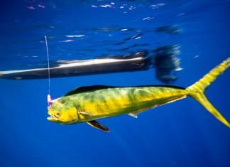 Blurred Lines - A fish swimming under water - Sardine