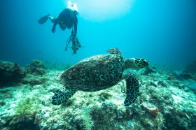 - A hawksbill turtle swims by diver Scott Black with an anchor that was recently cleaned up from the bottom. A good reminder as to why we're cleaning up the reef in the first place.