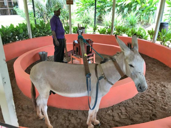 Jamaica in 24 Hours: An island adventure in a day - A dog that is standing in front of a horse - Horse