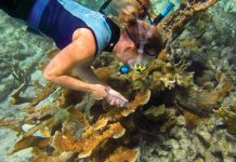 Mote scientist to receive prestigious award at Nation's Capitol - A person swimming in the water - Coral