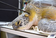 Subtle clues may help find person who speared turtle - A close up of a turtle - Turtle Hospital