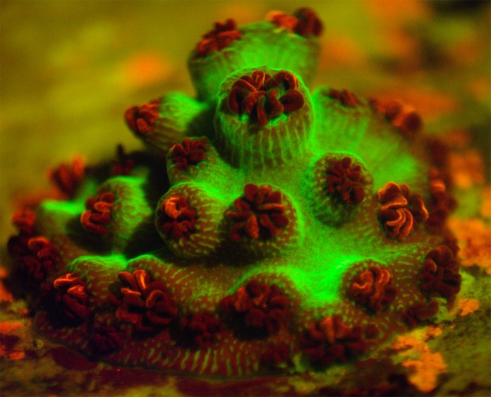 Zombie, Glowing and Chimera Corals at Mote ready for Halloween