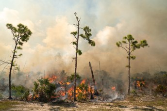 Big Pine gets burned – Controlled fire prevents catastrophe - A tree with smoke coming out of it - Forest