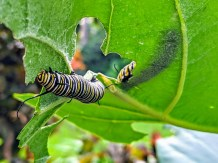 Caterpillars eat away at a milkweed plant on the MM 89 bayside property. TIFFANY DUONG/Keys Weekly