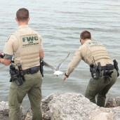 A bait-stealing seagull is rescued by FWC after getting itself hooked poaching a shrimp. The bird was released unharmed with a verbal warning.