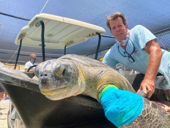 Shelly, a 50 to 60-year-old male green sea turtle, had to have his front flipper amputated at The Turtle Hospital after an entanglement in a discarded anchor line led to injuries. BETTE ZIRKELBACH/Contributed