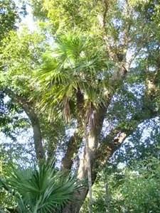 Black Olive Tree Image