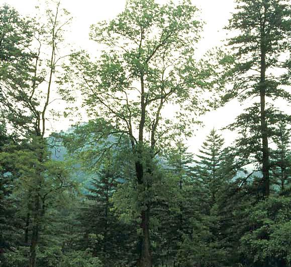 Fresno de Manchuria ,  monumento natural.