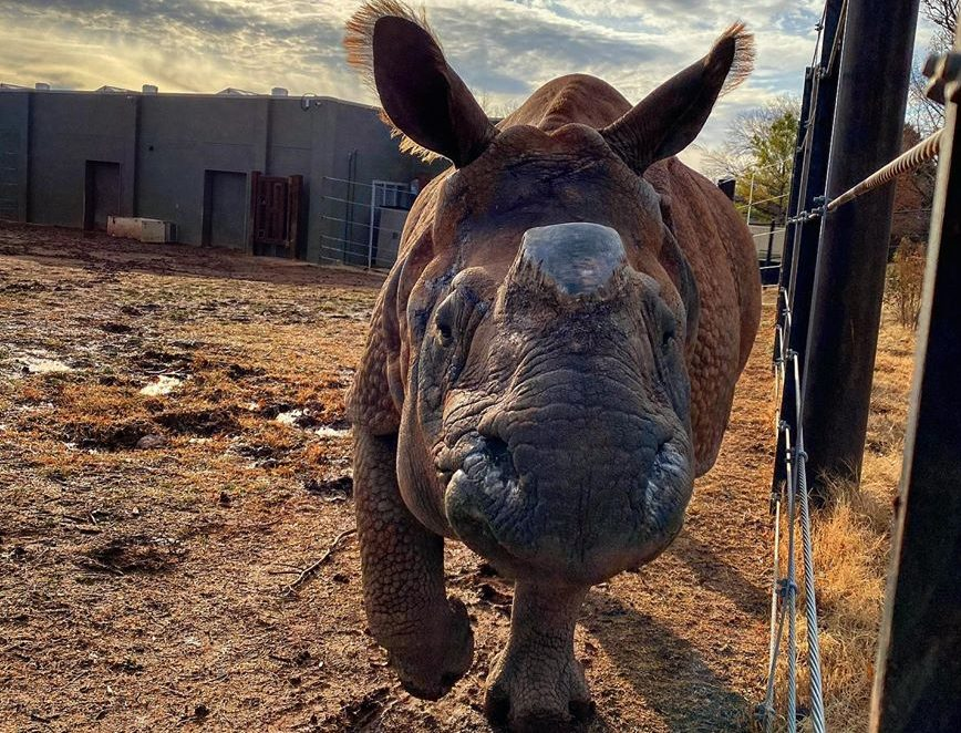 Photo of Niki the rhino for story about her