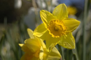 Daffodil at Laurel Hill Cemetery.