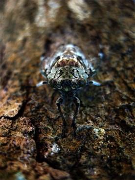 cicada copy