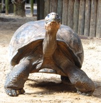 A Goliath Tortoises walks towards Scavelli as she enters his home.