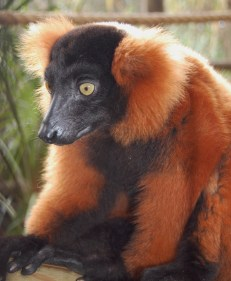 The red-ruffed lemur looks to Scavelli for a treat.
