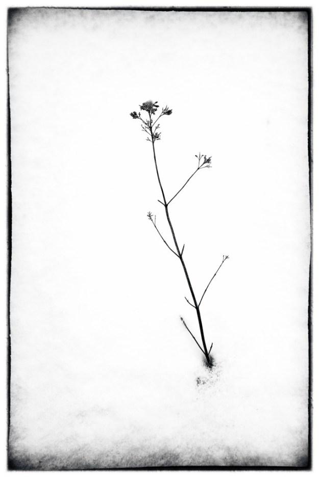 140219_Weed in Snow 1 by © 2013 Karl Graf.