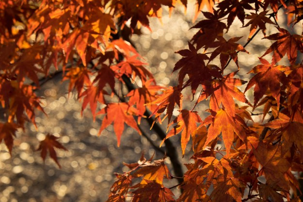 141127_Maple Leaves and Background Dew by .