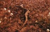 Goanna and wildflowers - Western Australia