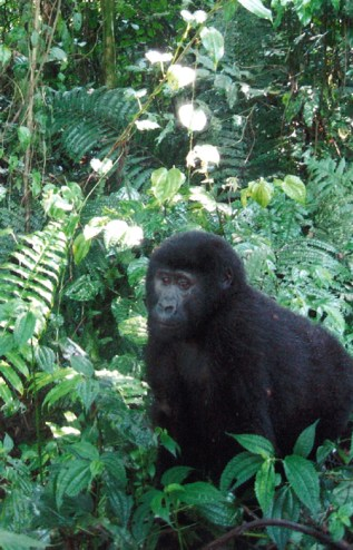 Crouching next to a mountain gorilla in Uganda