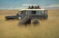 African game viewing as a rhino rears