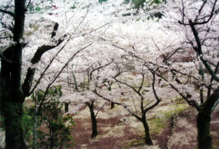 Cherry blossoms on Mijajima