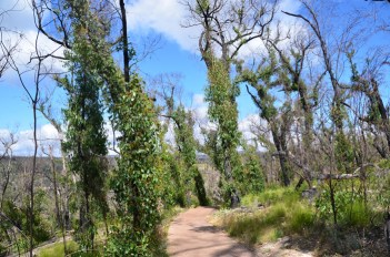 Burnt vegetation springs back to life after bushfires