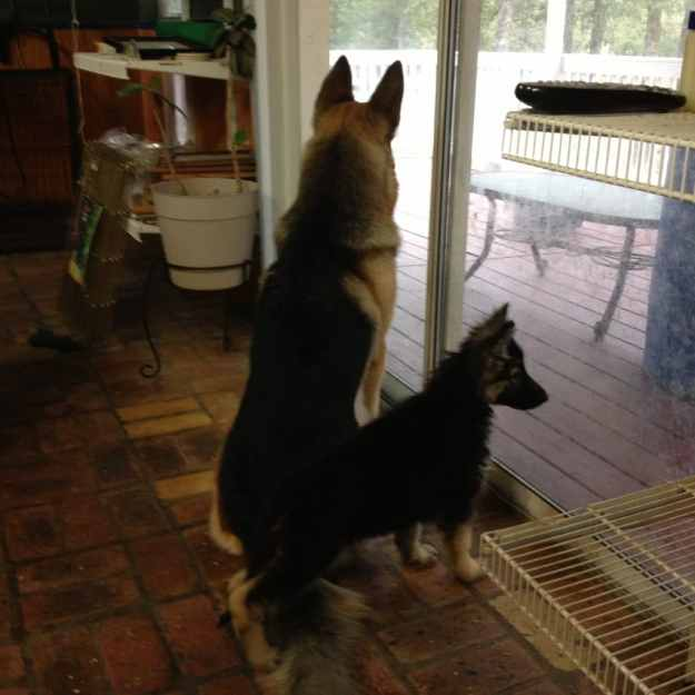 GrCh. Ch. Heidelberg's Kodi and Heidelberg's Zoya Watching the Weather