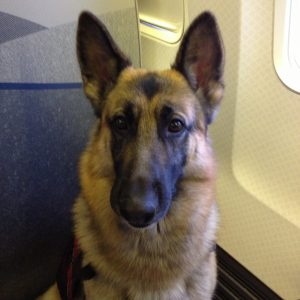 Grand Champion, Champion Heidelberg's Kodiak v Queridad (Kodi) Full Time Service Dog on His First Jet Ride
